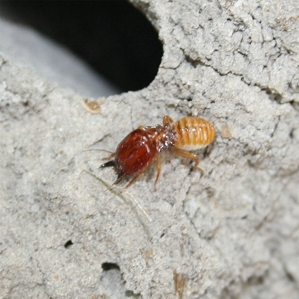 Termite_Gold_Coast